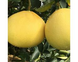 台州正宗玉环文旦柚子浙江特产台州楚门应当季新鲜水果蜜柚 精选果4-5个15斤